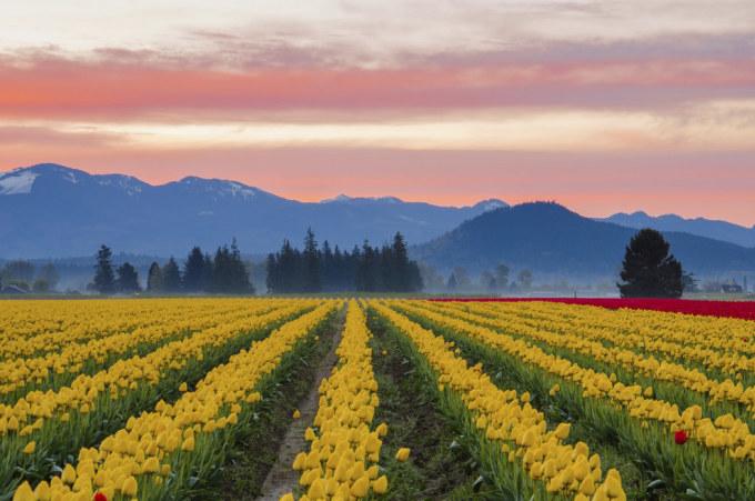 <p> 12. Cánh đồng hoa tulip rực rỡ ở thung lũng Skagit, Washington, Mỹ.</p>