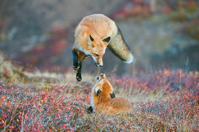 <p> Hai con cáo đỏ nô đùa trên cánh đồng mùa thu ở vườn quốc gia Denali, Alaska. Ảnh: <em>Dee Ann Pederson</em>.</p>