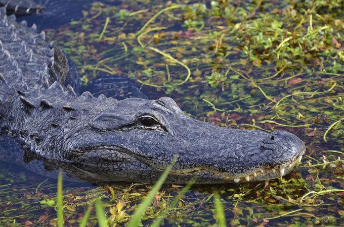 <p> Cận cảnh con cá sấu ở khu bảo tồn Marjory Stoneman Douglas, Florida. Ảnh: <em>Jenna Van Kley</em></p>
