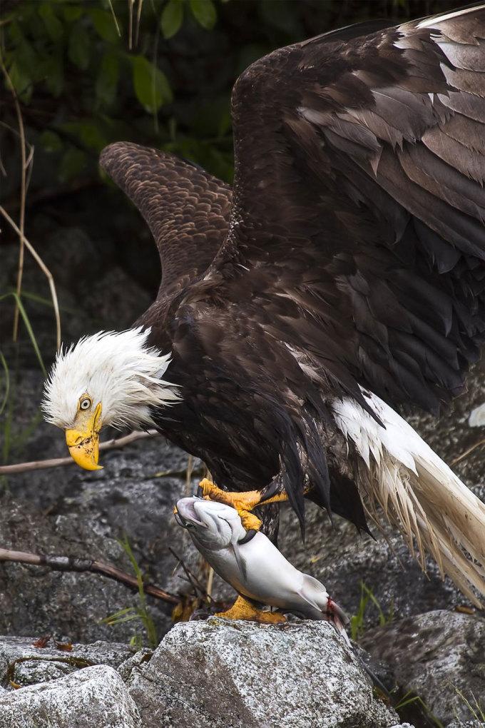 <p> Đại bàng đầu trắng đầy quyền uy với chiến lợi phẩm vừa săn được. Cảnh chụp ở khu bảo tồn Glacier Bay, Alaska. Ảnh: <em>David Bahr</em></p>