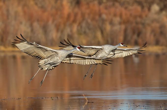 <p> Hai con sếu sải cánh bay là là trên mặt nước ở Bosque Del Apache, New Mexico. Ảnh: <em>Diane McAllister</em></p>