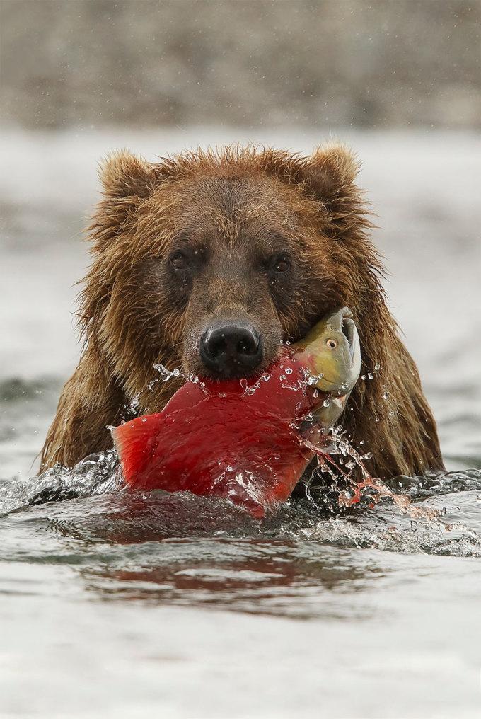 <p> Một con gấu nâu ngậm cá hồi vừa bắt được trong miệng ở vườn quốc gia Katmai, Alaska. Ảnh: <em>Robert J. Amoruso</em></p>