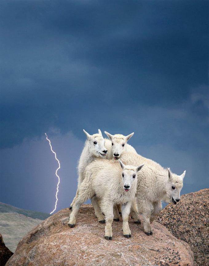 <p> Những con dê núi màu trắng đứng chụm vào nhau trên đỉnh núi Evans, Colorado, khi trời đang nổi bão và sấm chớp. Ảnh: <em>Verdon Tomajko</em></p>