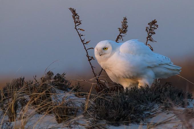 <p> Chim cú tuyết ở khu bảo tồn tự nhiên Otis Pike High Dune, New York. Ảnh: <em>Scott Joshua Dere</em></p>