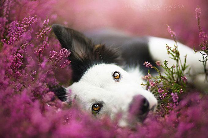 Say sưa ngắm những chú chó thiên thần giữa rừng hoa