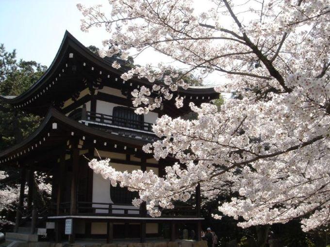 <p> Vườn anh đào trắng nở rộ trong khuôn viên đền Kajū-ji ở Kyoto.</p>