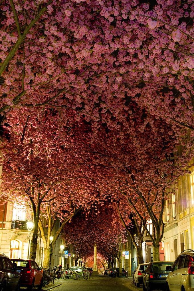 """<p class=""""Normal""""> Thành phố Bonn cổ kính của nước Đức nổi tiếng với con phố rợp anh đào như rừng hoa trong phim cổ tích.</p>"""