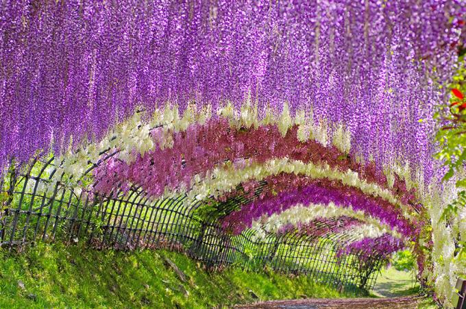 """<p> Con đường hoa tử đằng tuyệt đẹp """"đốn tim"""" du khách ở Nhật Bản.</p>"""