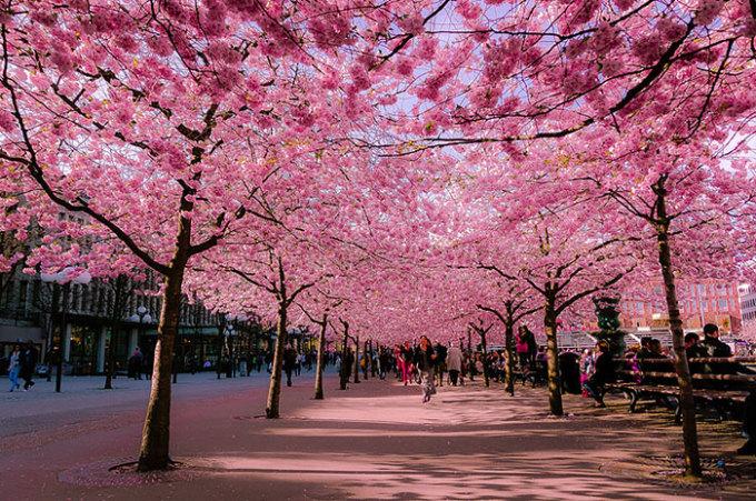 <p> Hai hàng anh đào bừng nở nhuộm sắc hồng mộng mơ cho công viên Kungstradgarden ở Stockholm, Thụy Điển.</p>