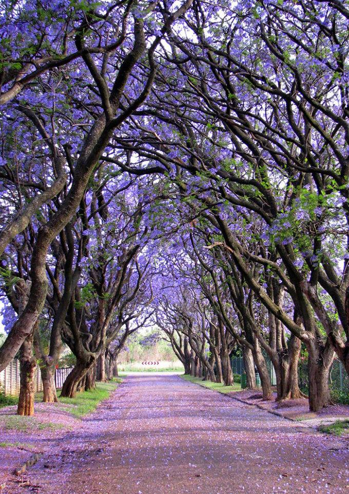 <p> Con đường hoa phượng tím nổi tiếng ở thị trấn nhỏ Cullinan, Gauteng, Nam Phi.</p>