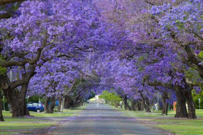 <p> Hoa phượng tím (Jacaranda) nở rộ ở thành phố Grafton, bang New South Wales, Úc.</p>