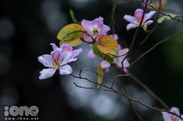 Teen Hà thành thích thú khi hoa sưa phủ tuyết trắng, hoa ban nhuộm tím trời