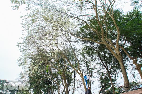<p> Hoa sưa báo hiệu sự chuyển giao mùa rõ rệt. Đến Hà Nội vào một ngày tháng Ba, đắm mình vào giữa đất trời hoa sưa trắng muốt đủ khiến tâm hồn cảm thấy nhẹ nhõm.</p>
