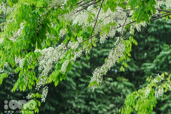 <p> Vào lúc này, hoa sưa vẫn chưa đạt đến độ chín nhất nhưng những cây hoa sưa quen thuộc trên đường Hoàng Diệu, Thanh Niên, Hồ Giảng Võ đã rủ nhau bung nở.</p>