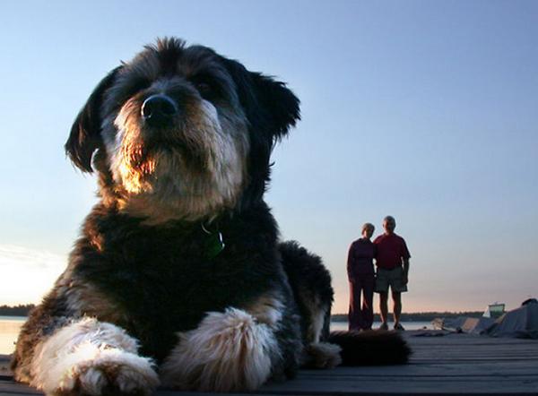 Những chú chó 'vụt lớn' hơn người