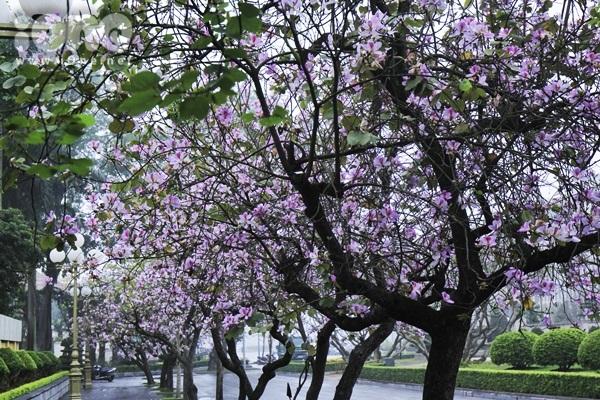 Hà Nội lãng mạn trong mùa hoa ban tím đầu xuân