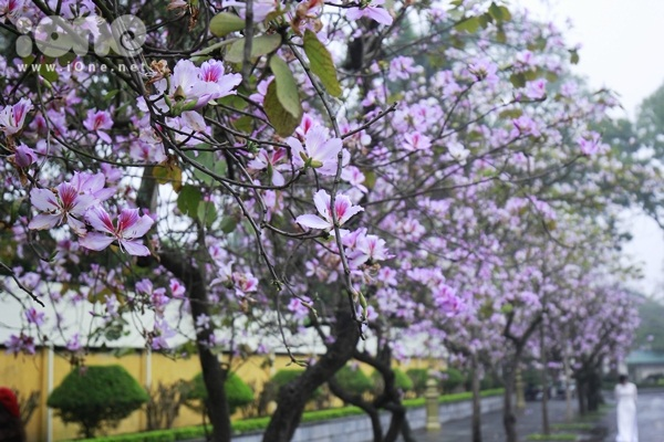 Hà Nội lãng mạn trong mùa hoa ban tím đầu xuân - 2
