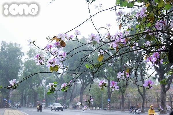 Hà Nội lãng mạn trong mùa hoa ban tím đầu xuân - 3