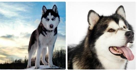 Nhìn hình đoán tên các loài chó - 3