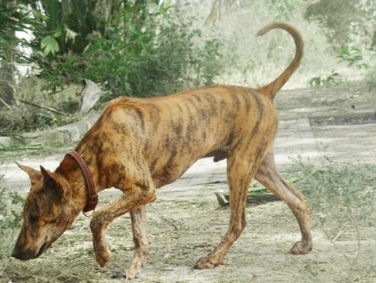 Nhìn hình đoán tên các loài chó - 5