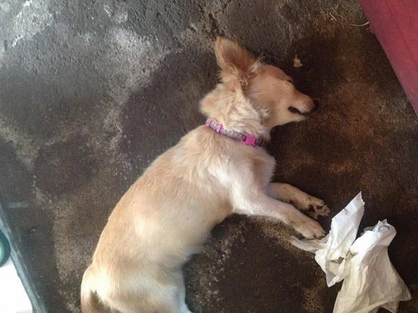 Chú chó cứu chủ thoát chết khỏi rắn hổ mang đã qua đời vì trúng nọc độc - 1