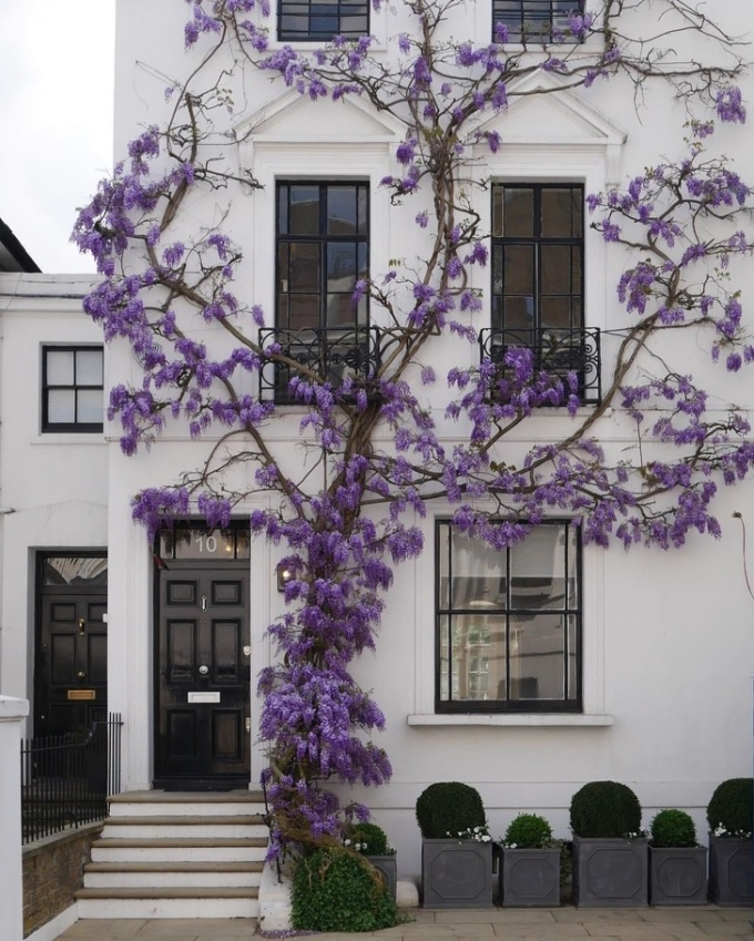 <p> Căn nhà này nằm tại một con phố ở vùng Kensington giàu có (London, Anh). Địa điểm này nổi tiếng đến nỗi ai tình cờ ghé qua cũng đều nán lại chụp lại bức ảnh ngôi nhà với dàn hoa tử đằng màu tím đầy lãng mạn.</p>
