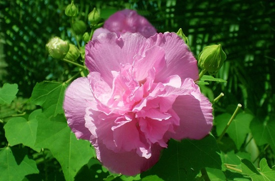 Ý nghĩa của các loài hoa, bạn có biết? (2) - 6