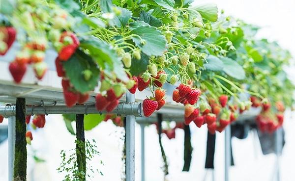 Khu vườn dâu tây - bài trắc nghiệm phơi bày ham muốn và chỉ số chống lại cám dỗ của bạn