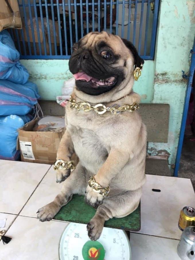 """<p> Trào lưu tự bóc giá set đồ của hội một nhóm bạn trẻ thuộc hội """"rich kid"""" tại <em>Sneaker Fest 2018 </em>nhận<em> </em>được sự chú ý và chia sẻ rộng rãi trên mạng xã hội. Sau đó, một độc giả vui tính đã chia sẻ trên nhóm Facebook <em>Không sợ chó</em>bộ ảnh về chú chó pug nhà giàu khiến nhiều người thích thú.</p>"""