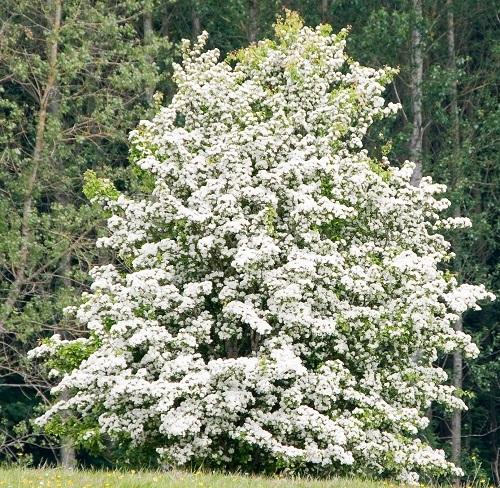 Theo dấu hiệu hoàng đạo Celtic, loài cây sinh mệnh của bạn là gì? - 5