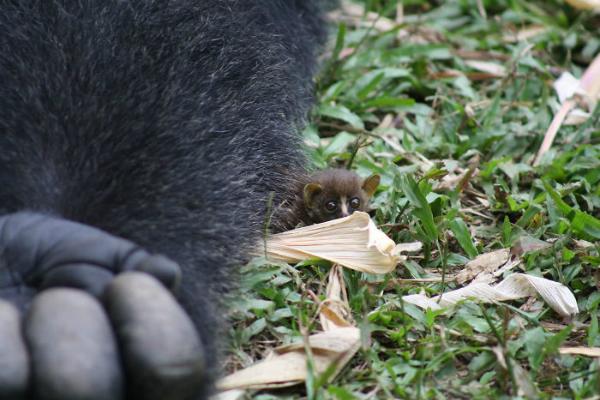 Cute hết sức: Khỉ đột khổng lồ cưng nựng vượn tí hon - 1