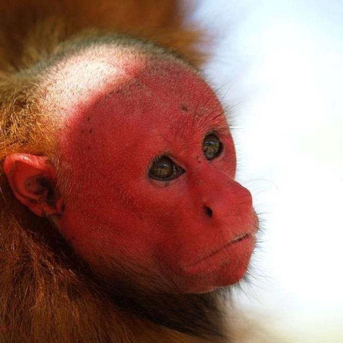 <p> Với cái đầu trọc và khuôn mặt đỏ rực, khỉ Uakari được mệnh danh là loài vật có vẻ ngoài kì lạ. Con khỉ nào mặt càng có màu đỏ thì chứng tỏ nó càng khỏe mạnh, và ngược lại. Màu đỏ trên mặt sẽ nhợt nhạt dần đi khi chúng bị ốm. Những con vật này thường sinh sống thành nhóm gồm 10 con.</p>