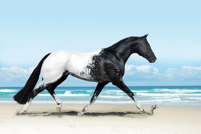 <p> Appaloosa là loài ngựa ở Mỹ. Giống ngựa này rất đắt tiền do có các mảng màu lông quyến rũ. Màu sắc hoa văn của mỗi con ngựa là di truyền, kết quả của mô hình đốm khác nhau.</p>
