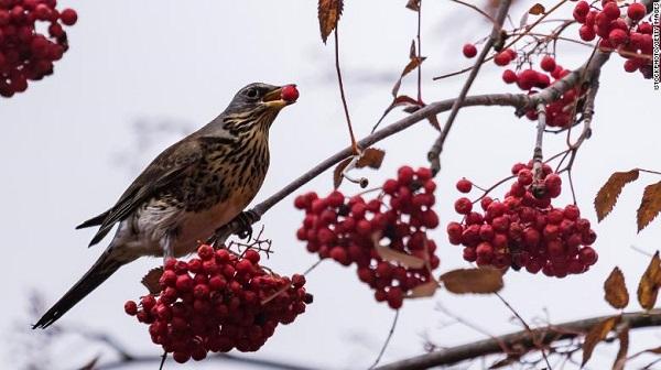 Cảnh sát địa phương đã kết luận những chú chim này chỉ đang say rượu mà thôi.