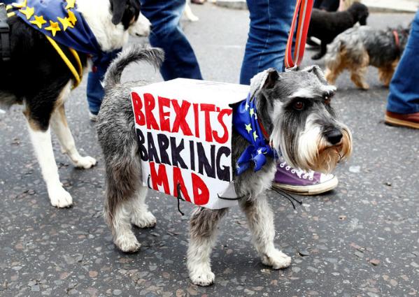 Chó bull, cả giống Anh và Pháp, cùng các giống chó khác đã tham gia biểu tình từ trung tâm London đến quảng trường nghị viện. Một chú chó giống Schnauzer màu xám đeo trên mình tấm biển Brexits Barking Mad (tạm dịch: Brexit thật bực mình).