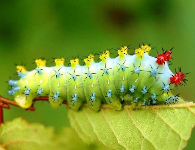 <p> Sâu bướm khổng lồ có các gai chi chít màu sặc sỡ.</p>
