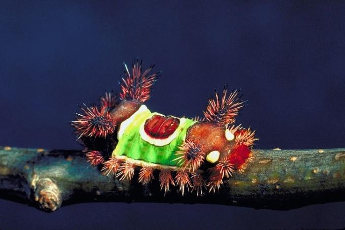 <p> Sâu Saddleback Caterpillar sặc sỡ sắc màu nhưng lại là sát thủ sâu độc nhất nước Mỹ.</p>