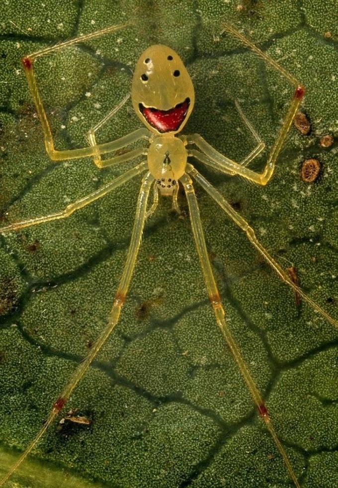 <p> Chú nhện vàng lạ kỳ với khuôn mặt cười ở trên thân.</p>