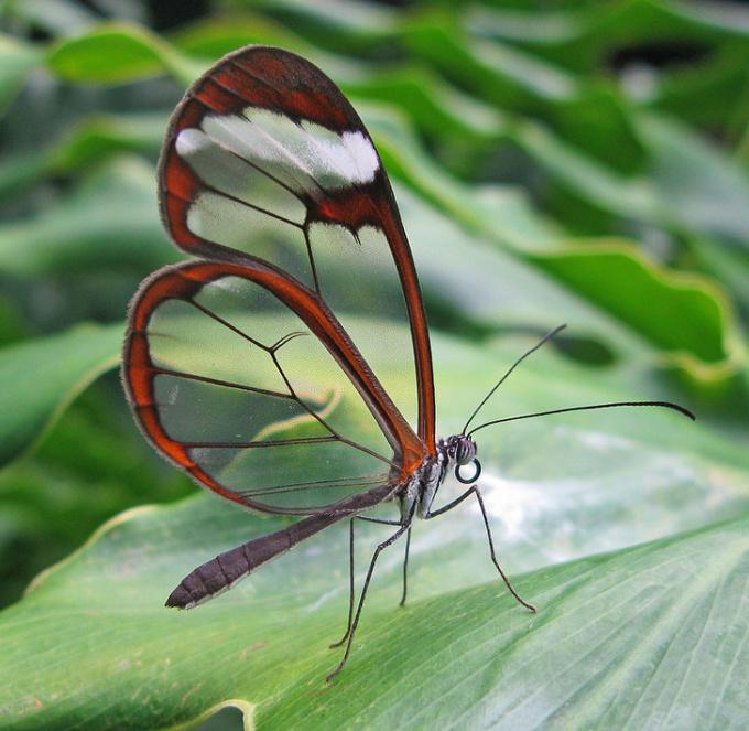 <p> Đôi cánh trong suốt của loài bướmGlasswing.</p>