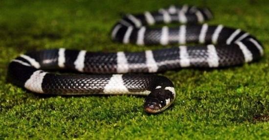Khám phá các loài rắn độc qua những câu đố hóc búa - 2