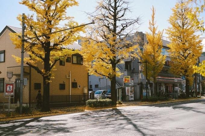 <p> Cây bạch quả nhuộm vàng cả khu phố.</p>