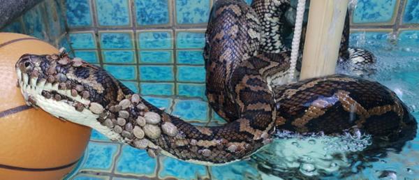 Trăn được tìm thấy trong bể bơi.