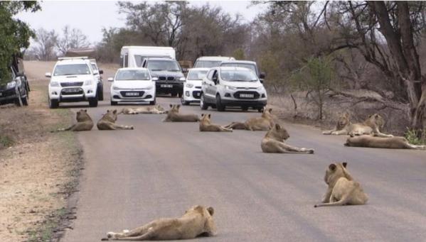 Những hình ảnh đàn sư tử dạo chơi ngoài đường có xe đi lại thường xảy ra ở công viên Kruger.