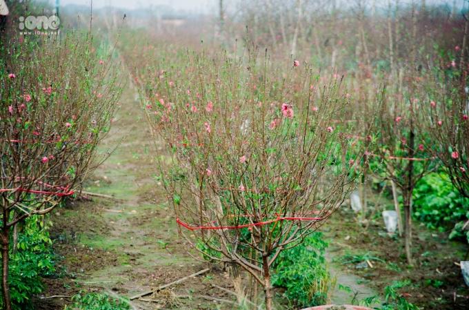 <p> Hà Nội đang dần đón những ngày tháng cuối cùng của năm 2018 âm lịch. Tiết trời ẩm ướt với những cơn mưa phùn hòa chung với sắc đào đang thắm báo hiệu rằng Tết đang cận kề.</p>