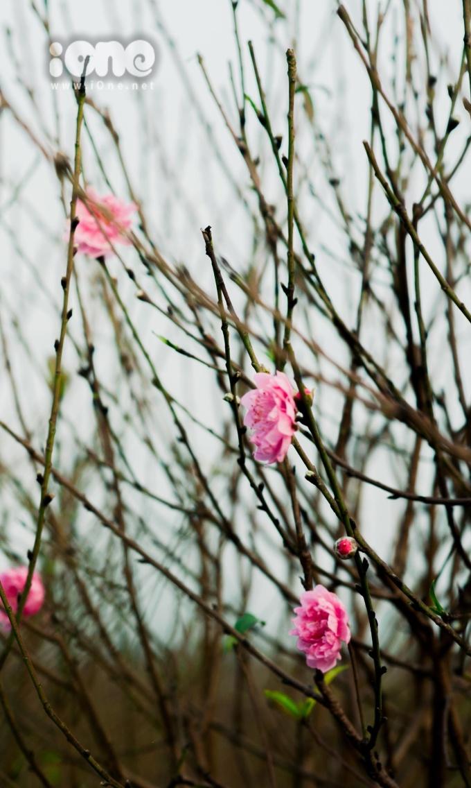 <p> Ở Nhật Tân, không khí Tết dường như lúc nào cũng đến sớm hơn, bởi nơi đây có những vườn đào đang vào kỳ ươm hoa.</p>