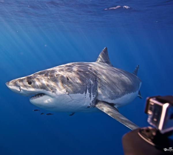 Thợ lặn tại Hawaii có thể vui đùa cá mập trắng