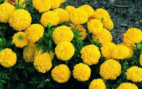 Đọc vanh vách các loại hoa ngày Tết - 3