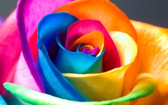 Ý nghĩa của các loại hoa hồng - 5