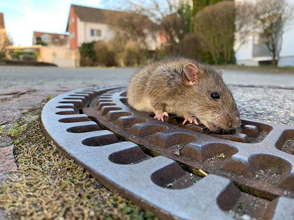 Ngay sau đó, Berufstierrettung Rhein Neckar - một tổ chức cứu hộ động vật địa phương nhanh chóng đến giải cứu chuột béo nhưng không thành công.