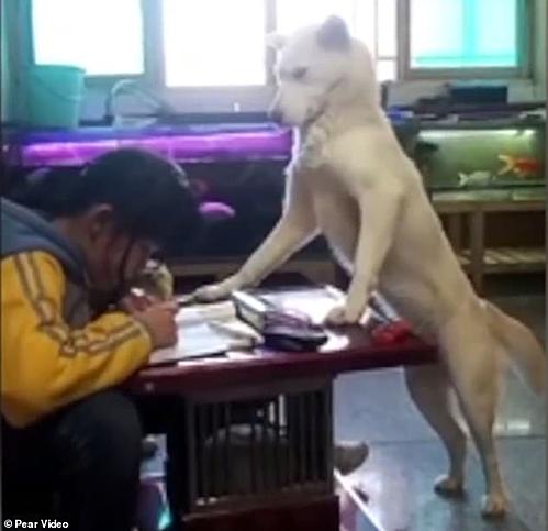 Chú chó màu kem đứng hai chân sau, chân trước tì lên bàn y hệt một giáo viên nghiêm khắc.